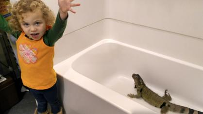 toddler helps to care for an iguana